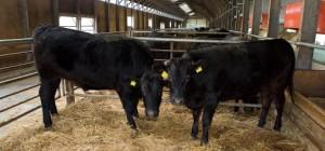 植苗和牛1